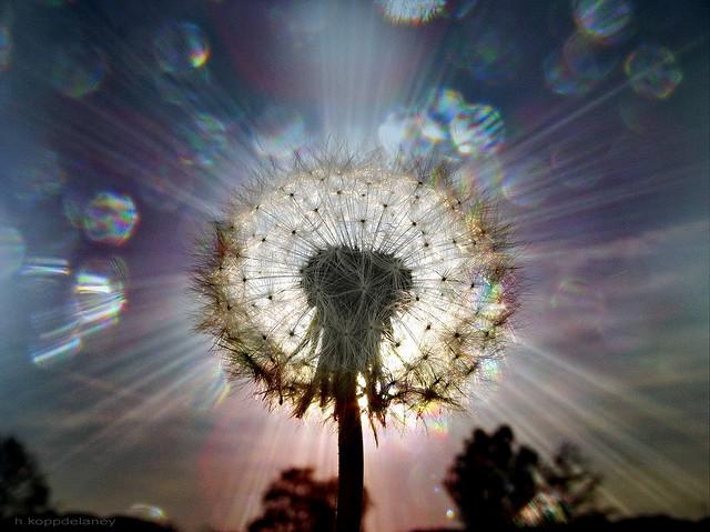Flickr-Dandelion-h.koppdelaney