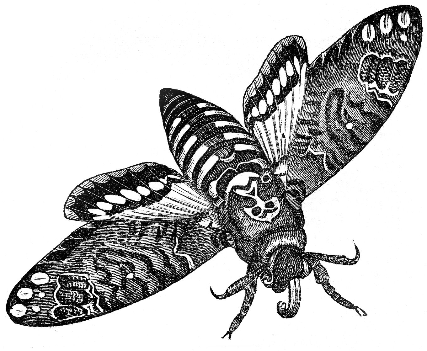 moth-graphicsfairy008b
